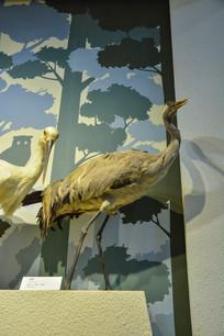 鸟类标本灰鹤