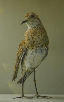 鸟类标本尖尾滨鹬
