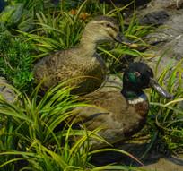 鸟类标本绿头鸭