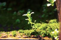 阳光下的小草微距