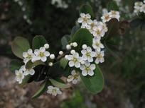 白色火棘花