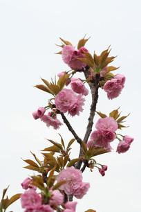 粉红色的晚樱