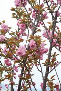 粉红色的樱花
