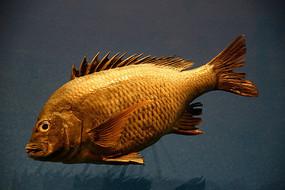 海海洋鱼类标本