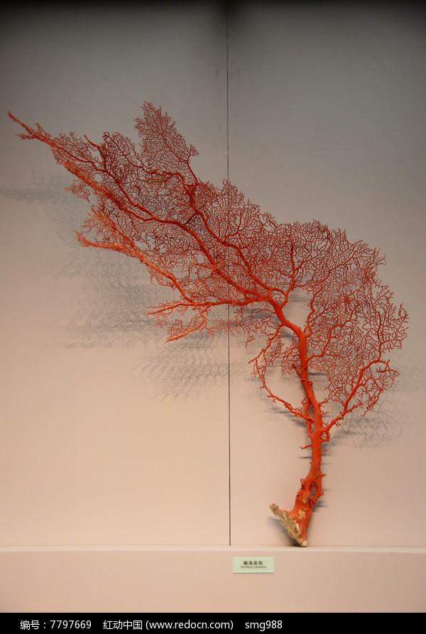 海洋生物鳞海底柏图片