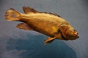 海洋鱼类哈鱼标本