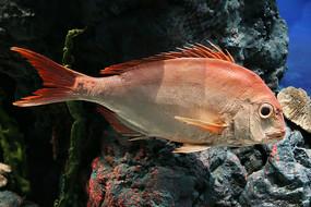 海洋鱼类红鱼标本