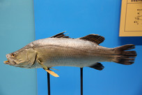 海鱼尖吻鲈