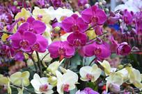 蝴蝶兰鲜花