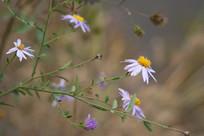 野生紫苑花朵