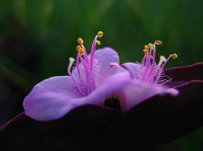 紫竹梅花朵