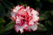 红边杜鹃花