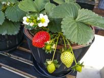 新鲜草莓果