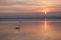 夕阳金色湖面上的天鹅