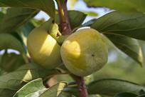 挂在枝头的柿子
