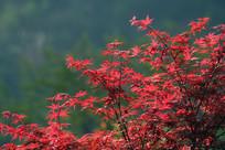 红色的鸡爪槭树叶