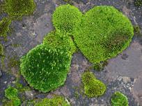 藓类植物苔藓