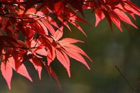 逆光下的鸡爪槭树叶