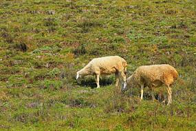 山坡上吃草的绵羊