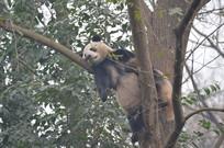 树上的大熊猫
