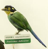长尾阔嘴鸟
