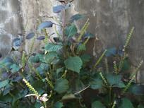 唇形科植物紫苏