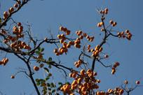 结满果实的柿子树