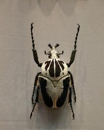 昆虫花金龟标本