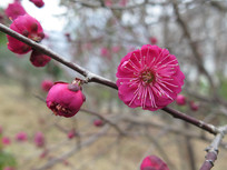 盛开的红梅花