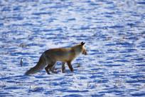 雪地中的狐狸