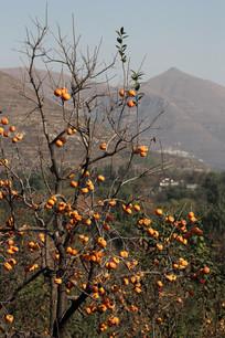 野外的柿子树