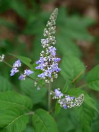 紫色荆条花