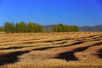 烧荒后的麦地景色
