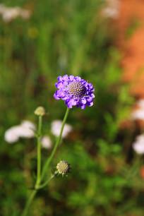 野生窄叶蓝盆花