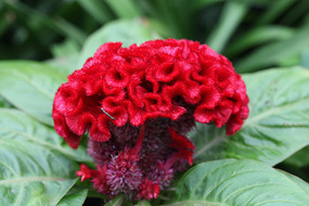 红色的鸡冠花