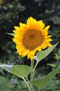 黄色的向日葵花