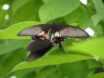 交尾的玉带凤蝶