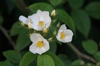 枝头上的小果蔷薇花朵