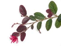白背景上的红花檵木