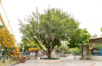 公园绿化树