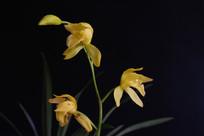 黑背景上的兰花