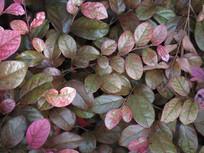 红花继木的枝叶