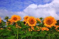 金光灿烂的向日葵