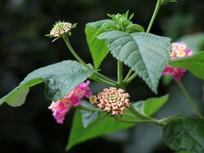 马鞭草科植物马樱丹