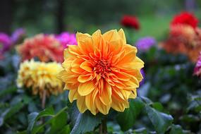 橙黄色的大丽花