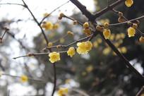 黄色的腊梅花