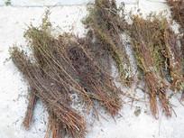 中药材对叶草
