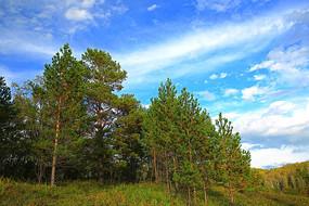 蓝天下的樟子松林
