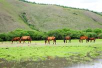 牧场马群风景