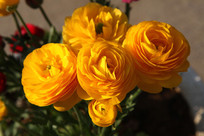 漂亮的芹叶牡丹花